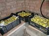 Заготовка урожая надолго: как хранить яблоки в квартире и в погребе