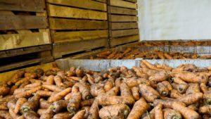 Хранение моркови4